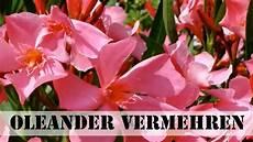 oleander vermehren stecklinge ziehen