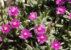 piante grasse fiori fucsia piante grasse la ruschia pollicegreen