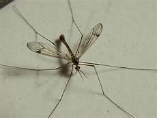 panische angst vor schnaken und spinnen insekten panik