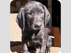 Ralph   Adopted Puppy   Piedmont, MO   Bloodhound/Labrador