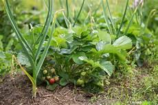 was hilft gegen mehltau knoblauch als nat 252 rlicher pflanzenschutz im garten