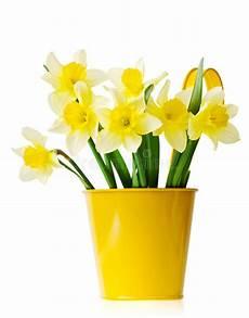 pot de fleur jaune jonquilles dans un pot de fleurs jaune photo stock image