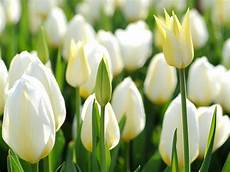 White Flowers Hd Images by Hd Wallpapers White Tulip Flowers