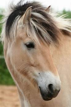 Ausmalbilder Pferde Norweger Norweger Foto Bild Tiere Haustiere Pferde Esel