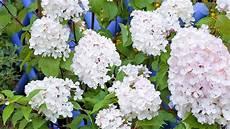 tailler les hortensias photos la taille de l hortensia vanille fraise plants