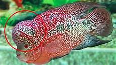 Ternyata Ini Isi Benjolan Louhan Ikan Hias Yang Harganya