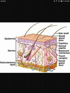Diagram Of Sebaceou Cyst In by 8 Best Sebaceous Glands Images On Hair