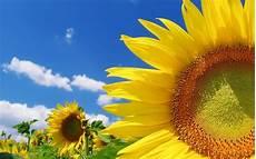 significato girasole nel linguaggio dei fiori girasole linguaggio dei fiori girasole linguaggio