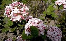 duft schneeball winter duftschneeball pflanze viburnum x bodnantense