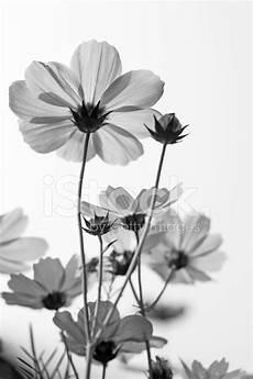fiori in bianco e nero d arte in bianco e nero fiore fotografie stock