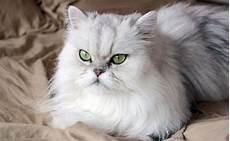 vendo gatti persiani gatto persiano variet 224 carattere e caratteristiche dei