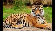 royal bengal tiger picture only for