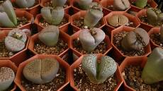 lebende steine arten tips for growing living stones plants