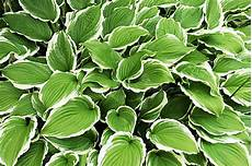 plantes d ombre hosta silver crown stock image image of plant clean