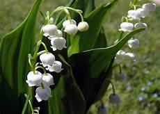 mughetto significato dei fiori mughetto significato simbologia e linguaggio mughetto