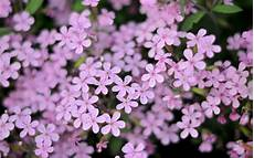 blumen klein small purple flowers 1280x800 wallpaper