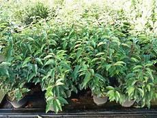 portugiesischer kirschlorbeer angustifolia 7 99