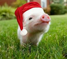 lovely christmas pig with images christmas animals cute pigs pigs