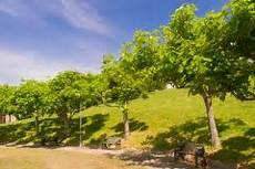 kugel trompetenbaum schneiden 187 wann wie oft und wie