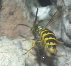 wespen im mauerwerk wespen im mauerwerk