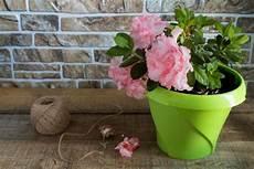 rododendro in vaso rododendro coltivazione