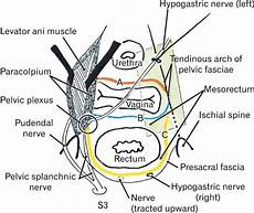 Schematic Representation Of The Pelvic Fasciae Along And