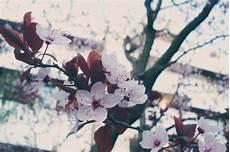 fiori di rosa fiori di pesco fiori rosa fiori di pesco by xxkiriku on deviantart