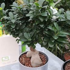 Chinesische Feige Ginseng Ficus Microcarpa Ginseng