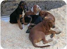 Hound puppies   Adopted Puppy   Paragould, AR   Redbone