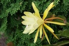 gelber blattkaktus epiphyllum aichach myheimat de