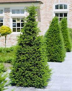 Eibe Taxus Baccata - taxus baccata yew large