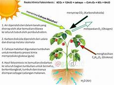 Fotosintesis Pengertian Proses Tahapan Reaksi Kimia