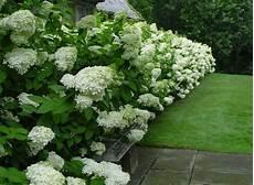 Hydrangea Paniculata Limelight Hedging Plants