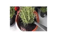 oleander ableger ziehen calla pflege gelingt so
