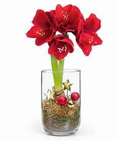 Rote Amaryllis Im Glas Jetzt Bestellen Bei Valentins
