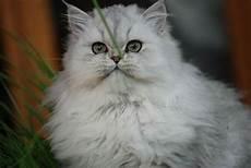 prezzi gatti persiani gatto persiano bianco pelo lungo gatto persiano bianco