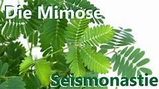 mimose pflanze kaufen die seismonastie der mimose bewegungseffekt der quot r 252 hr