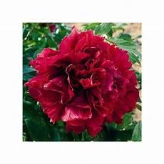 pivoine arbustive en pot pivoine arbustive madame andr 233 devillers plantes et