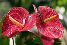 pflanze mit roten blüten flamingoblume anthurium andreanum tiermedizinportal