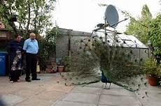 animale vanitoso un pavone 232 diventato l animale domestico di una coppia
