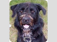 Eugene   Adopted Dog   Ft. Pierce, FL   Giant Schnauzer