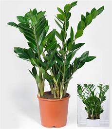 Pflanzen Für Dunkle Ecken In Der Wohnung - zamioculcas im 17 cm topf 1a zimmerpflanzen kaufen