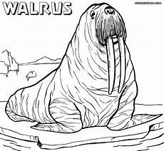 walrus coloring pages coloring pages to download and print