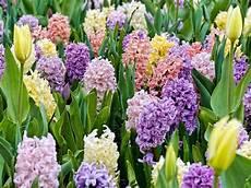 fiori bulbo bulbi da fiore bulbi piante bulbose