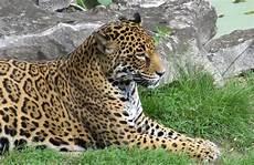 jaguar ou leopard l 233 opard gu 233 pard jaguar quelles diff 233 rences