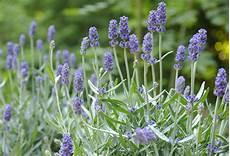 lavendel gegen wespen lavendel werfzeep werfzeep biologisch handgemaakt