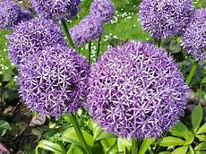 Ail D Ornement Allium Spp Plantation Culture Entretien