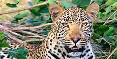 191 Cu 225 Ntos Jaguares Hay Actualmente En Am 233 Rica