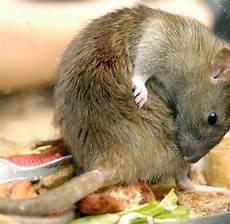 sch 228 dlinge experten warnen vor einer rattenplage in