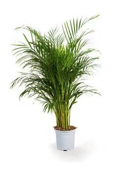 mini palmier interieur l atelier des fleurs